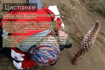Цистанхе на Поющем Бархане, Южный Казахстан