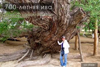 700-летняя ива в нацпарке Алтын-Эмель