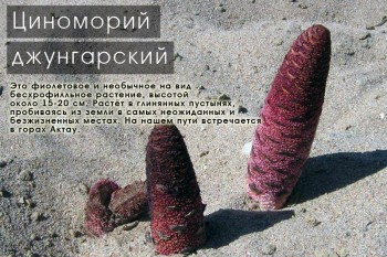Циноморий джунгарский, горы Актау, Южный Казахстан