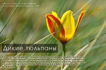 Дикие тюльпаны в Казахстане, плато Асы