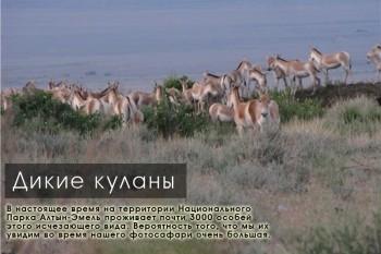 Стадо диких куланов в парке Алтын-Эмель