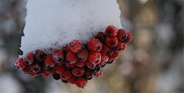 Поднебесные Зубья, сибирская тайга, замороженная рябина