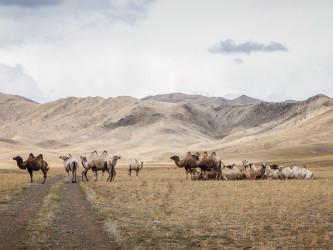 Верблюды, Тыва