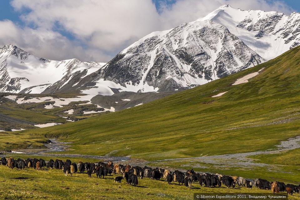 Горный Алтай, долина реки Елангаш. Стадо яков (сарлыков).