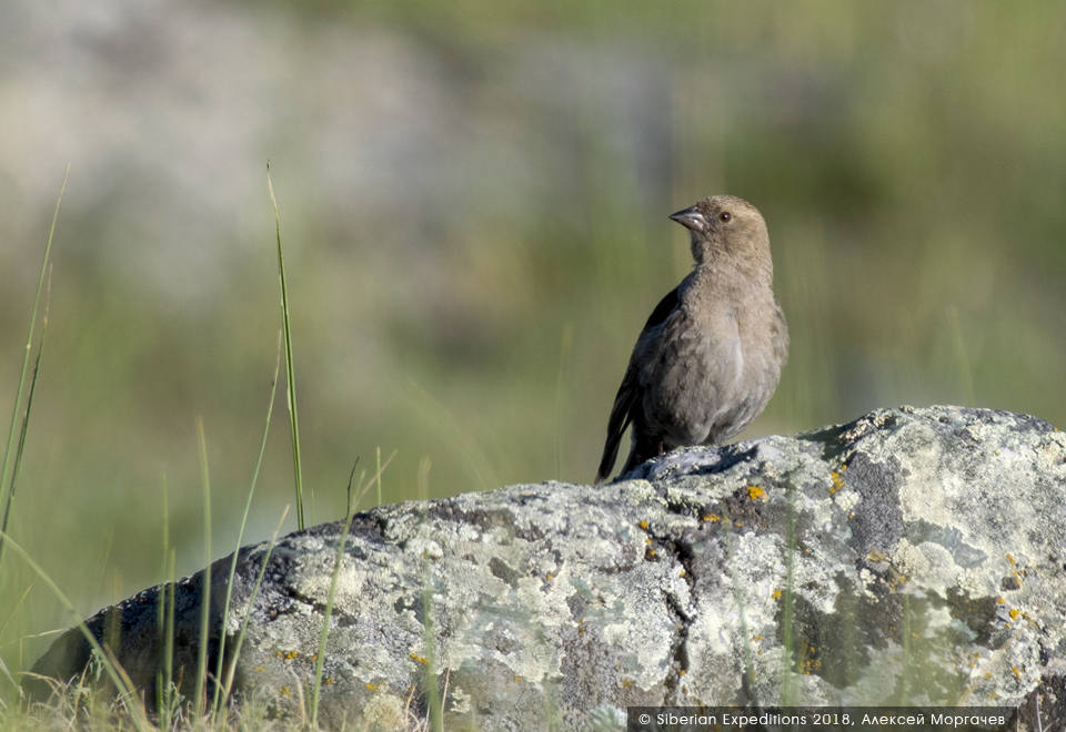гималайский вьюрок, Горный Алтай, Елангаш