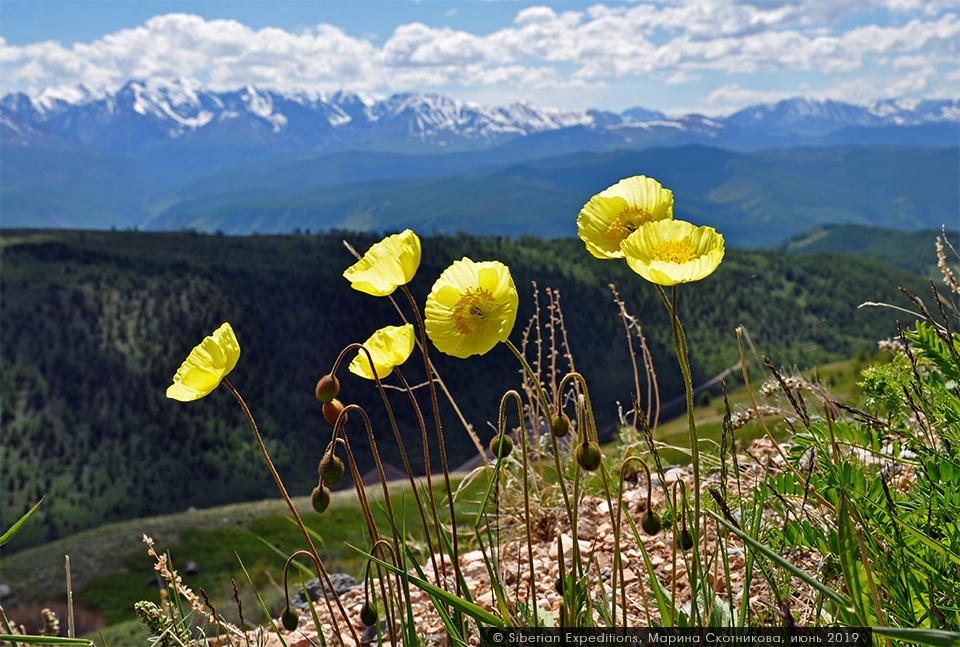 альпийские маки алтай