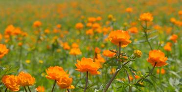 Алтай в июне, цветение жарков