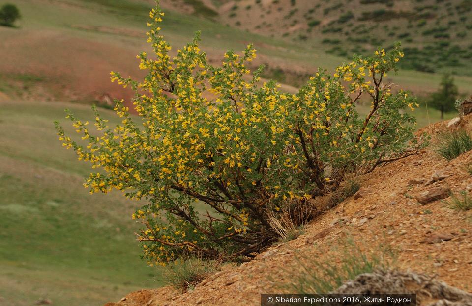 Марсианские пейзажи алтая, карагана Бунге