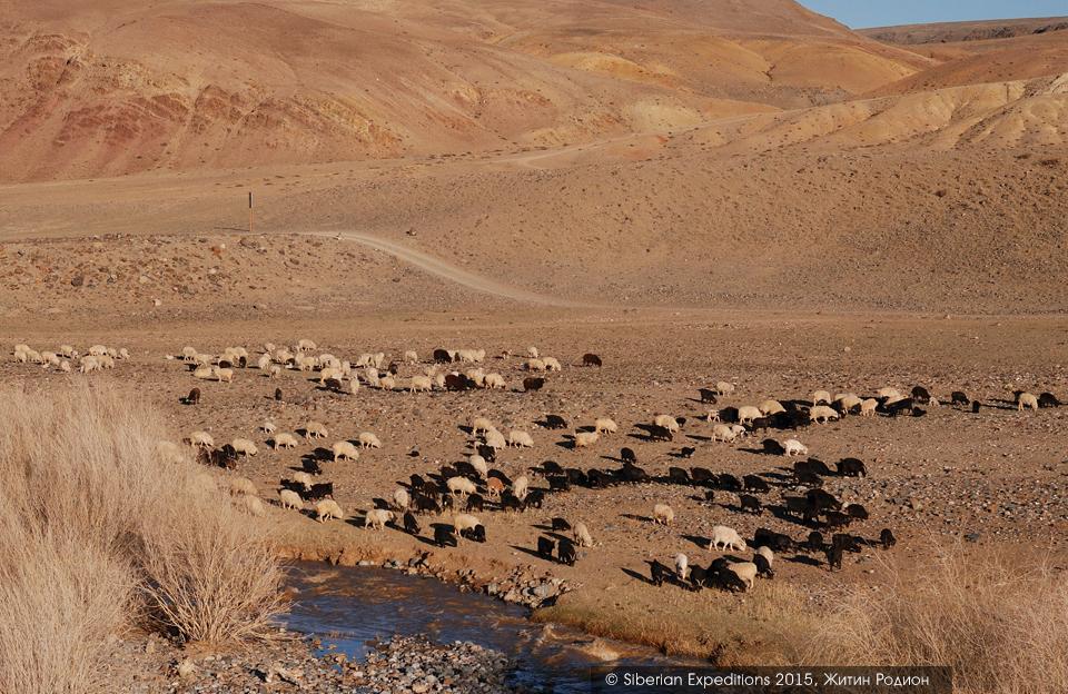 Марсианские пейзажи Алтая, стада овец и коз
