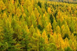 Осенний Алтай, желтые лиственницы